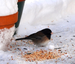 A junco braves the Orcas Island snow to feed.